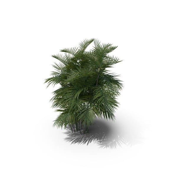 Palm Tree Chamaedorea Seifrizii