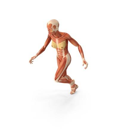Anatomía del Sistema Muscular Mujer Corriendo