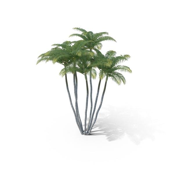 Thumbnail for Areca Palm Tree
