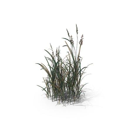 Amerikanischer Sloughgrass (Beckmannia Hirsutiflora)