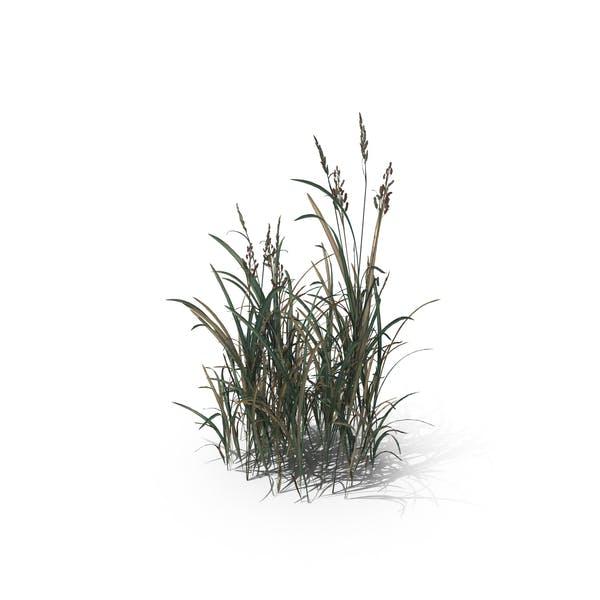 American Sloughgrass (Beckmannia Hirsutiflora)