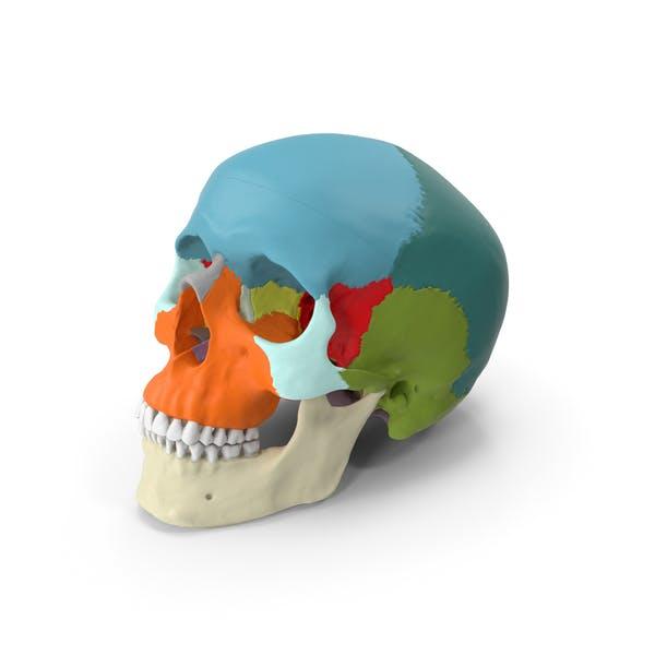 Человеческий череп - Дидактическая версия