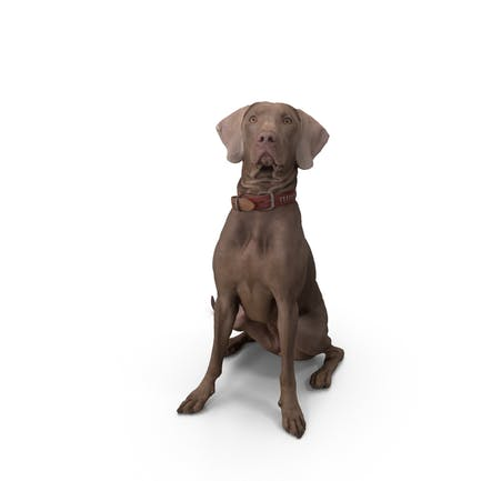 Weimaraner - Perro sentado