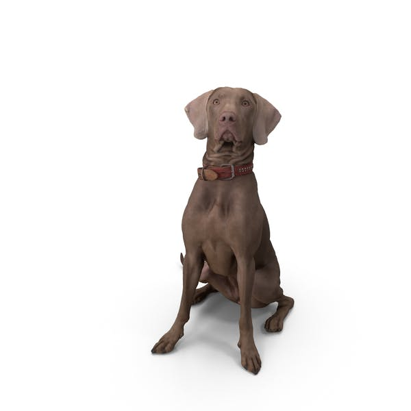 Thumbnail for Weimaraner Dog Sitting