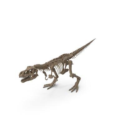 Tyrannosaurus Rex Skelett Fossil Walking Pose