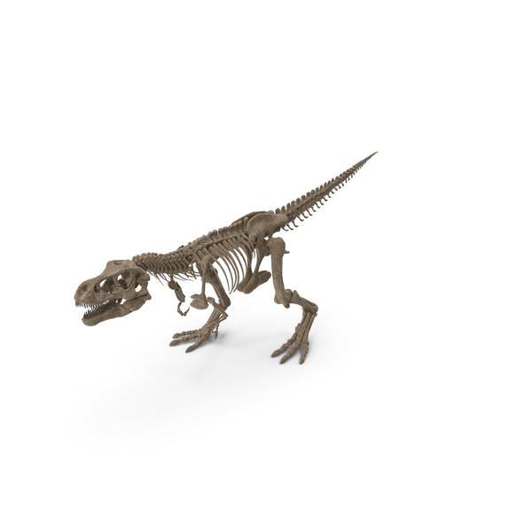 Tyrannosaurus Rex Skeleton Fossil Walking Pose