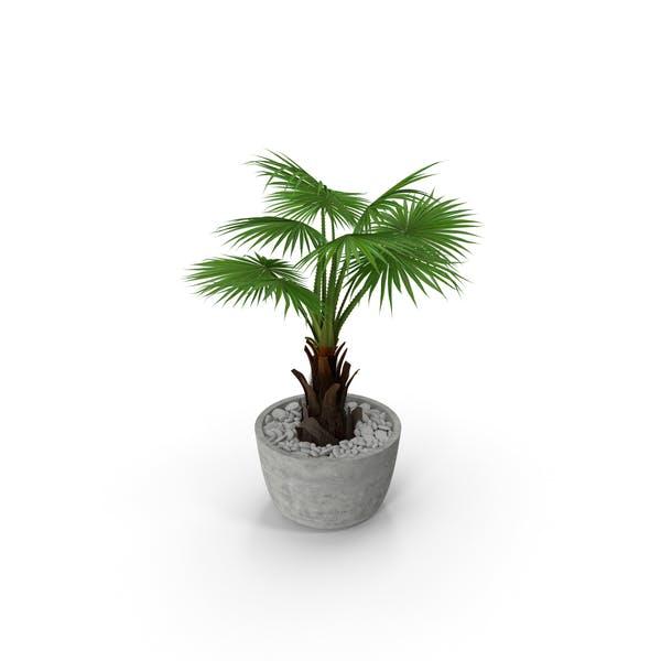 Washingtonia Robusta Pot Plant
