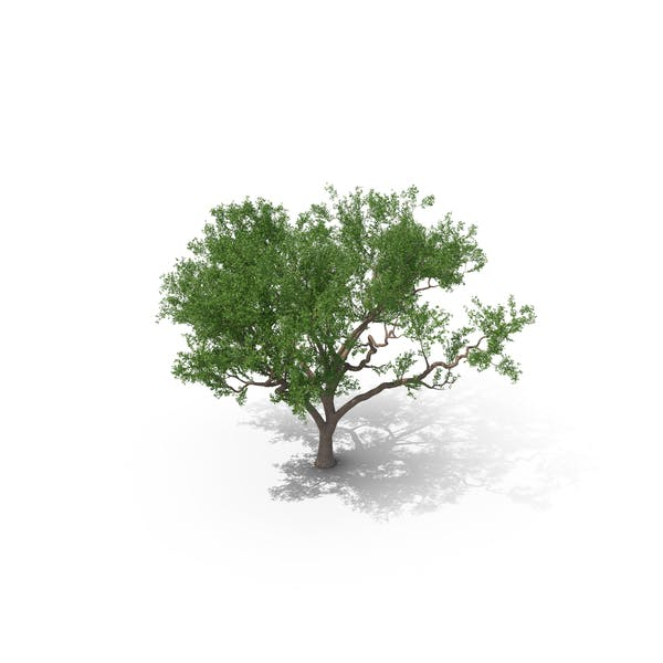 Cover Image for Rosewood Tipa Tree