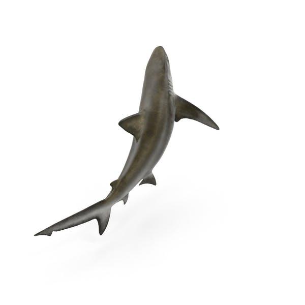 Thumbnail for Bignose Shark
