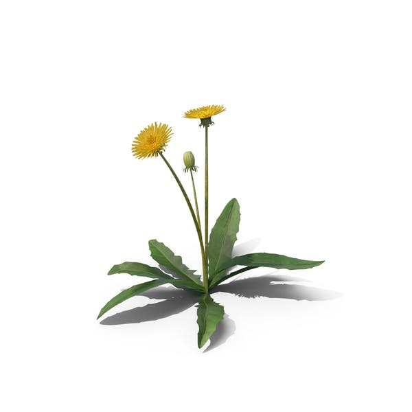 Thumbnail for Taraxacum Officinale