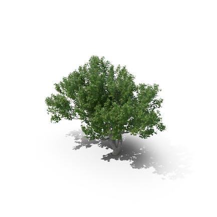 Avicennia-Baum
