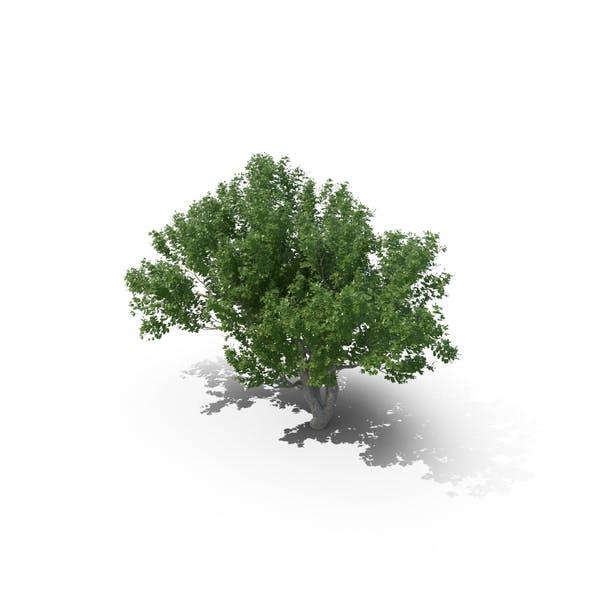 Avicennia Tree