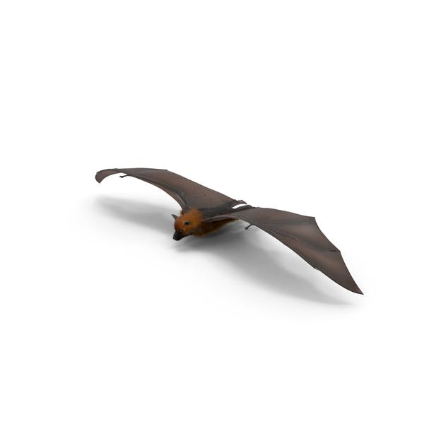 Cover Image for Fruit Bat Flying Low