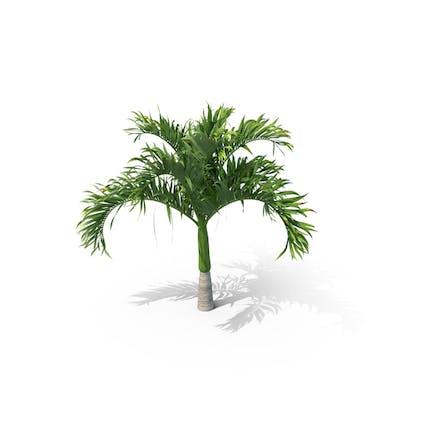 Palm Tree Adonidia Merrillii