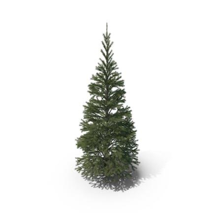 Short Conifer Tree