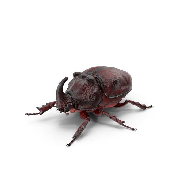 Thumbnail for Oryctes Nasicornis Rhinoceros Beetle Standing