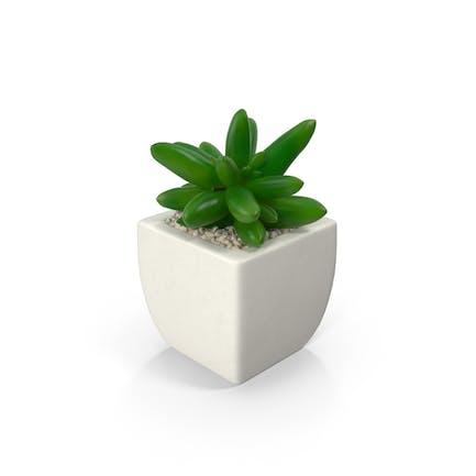 Topf-Sukkulenten Pflanze