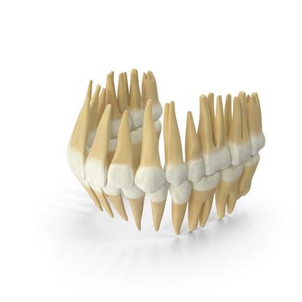 Realistische Zähne bleibendes Geb