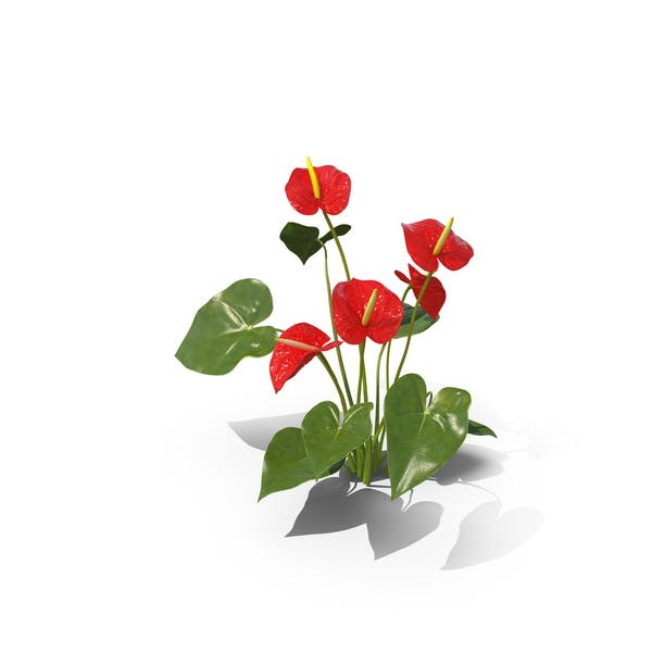 Cover Image for Anthurium