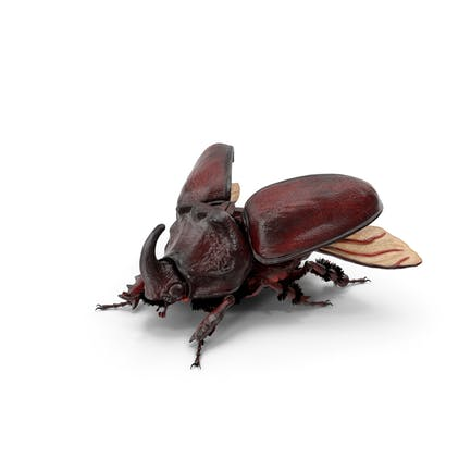 Oryctes Nasicornis Nashornkäfer mit Fell