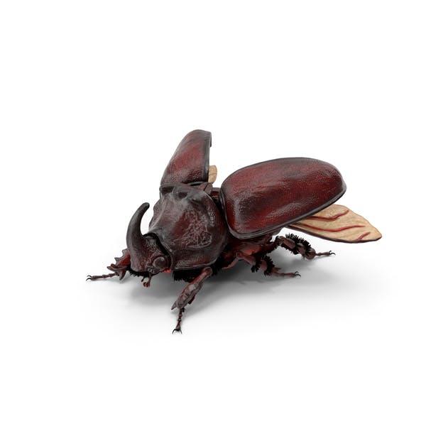 Oryctes Nasicornis Rhinoceros Beetle with Fur