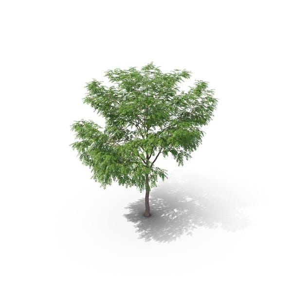 Thumbnail for European Ash Tree