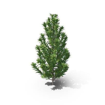 Senecio Leucadendron Plant