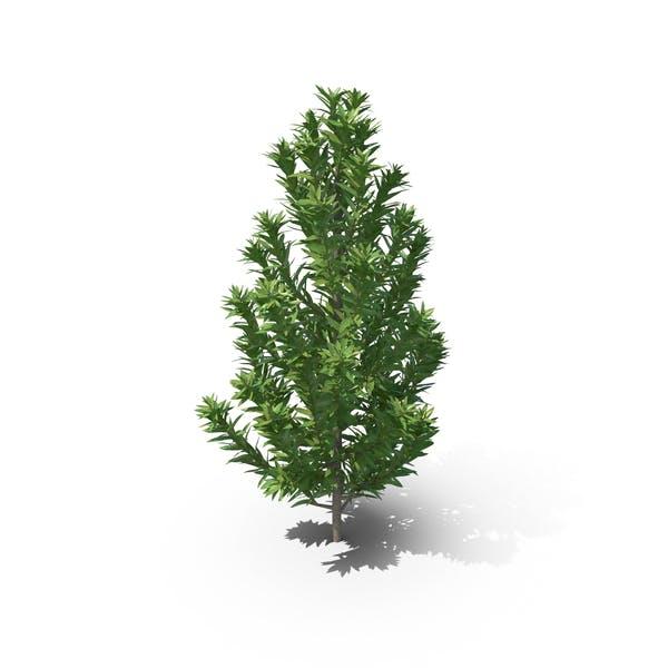 Thumbnail for Senecio Leucadendron Plant
