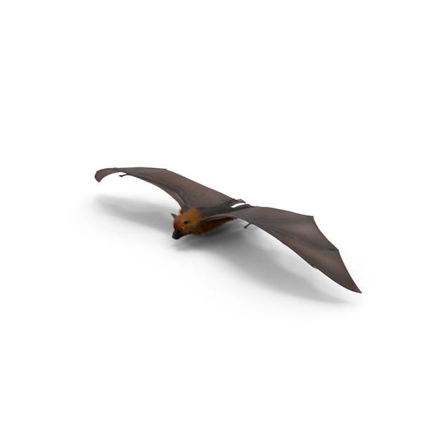 Thumbnail for Fruit Bat Flying Low