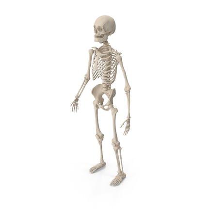 Esqueleto Masculino Cuerpo Completo
