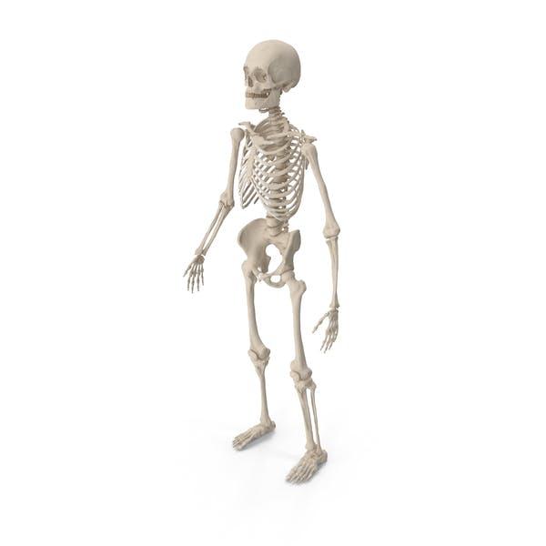 Male Skeleton Full Body