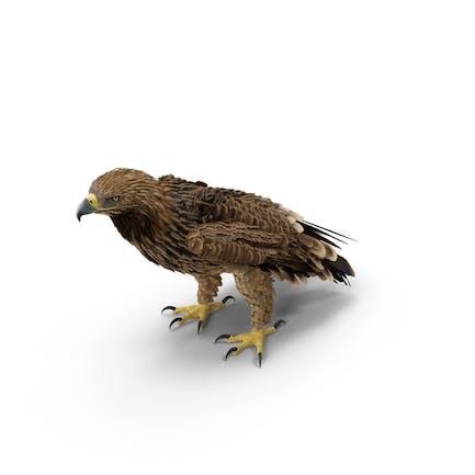 Águila imperial de pie