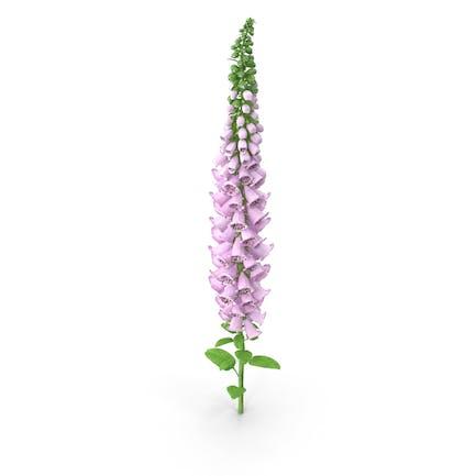 Digitalis Purpurea Plant