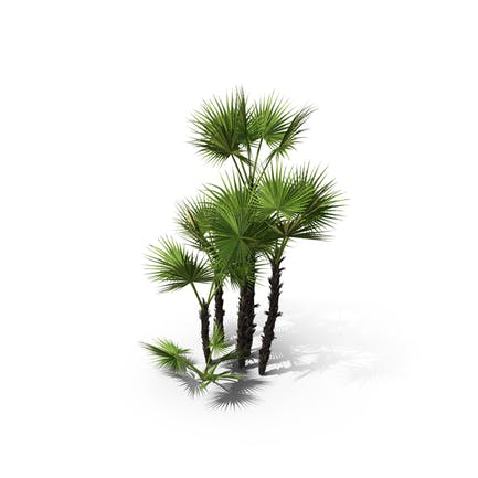 Palm Tree Acoelorrhaphe Wrightii