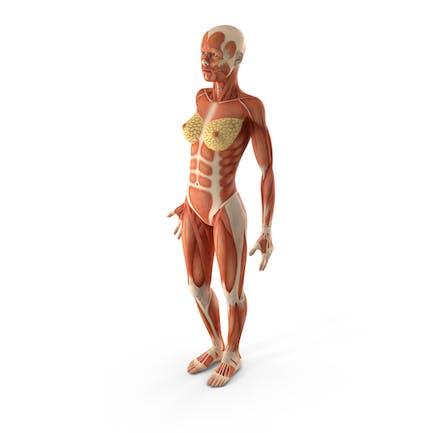 Anatomía del sistema muscular femenino