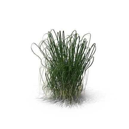 Prairie Cordgrass