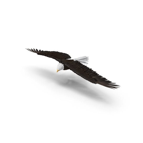 Bald Eagle Turning