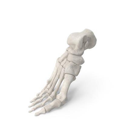 Menschliche Fußknochen Anatomie Gebogen Pose Weiß
