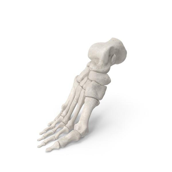 Human Foot Bones Anatomy Bent Pose White