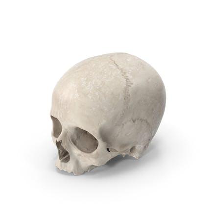 Cráneo Humano Blanco