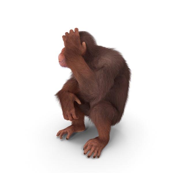 Light Chimpanzee Sitting Pose Fur