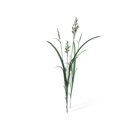 Beckmannia Hirsutiflora