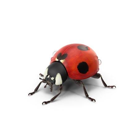 Marienkäfer mit Wassertropfen
