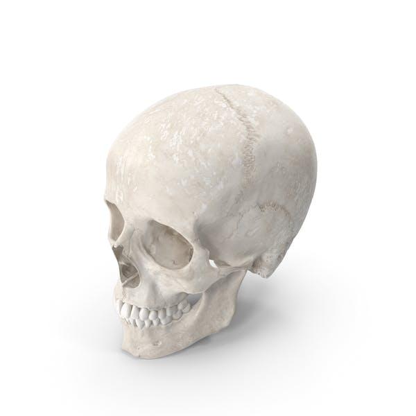 Human Woman Skull