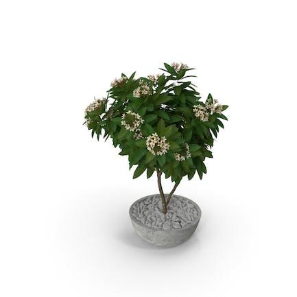 Blumentopf Plumeria White