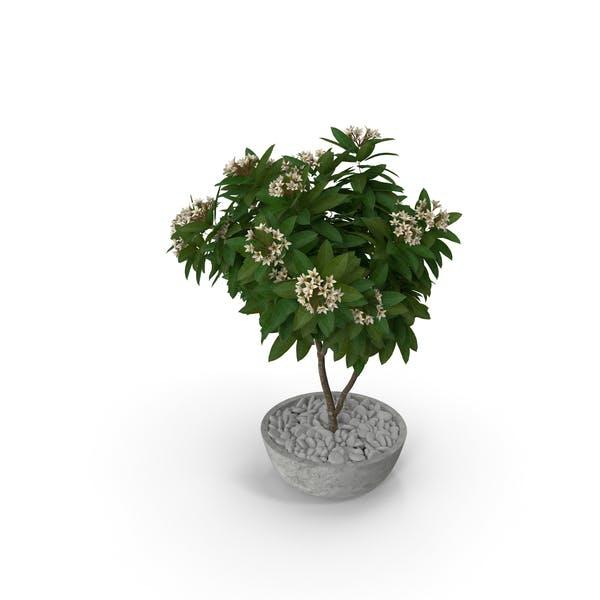 Flower Pot Plumeria White