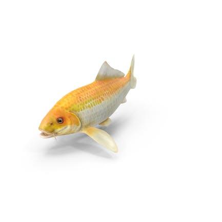 Gelber Koi Ogon Fisch