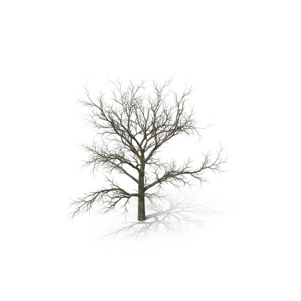 White Oak Tree Winter