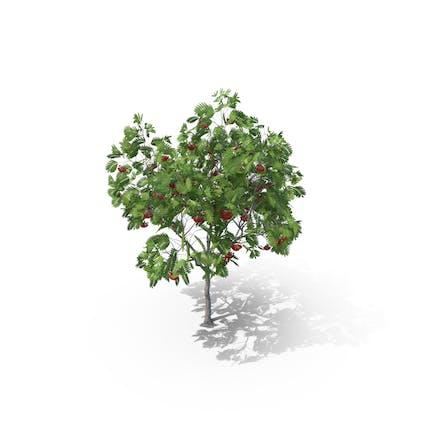 Árbol de fresno europeo de montaña