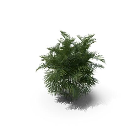 Palme Chamaedorea Seifrizii